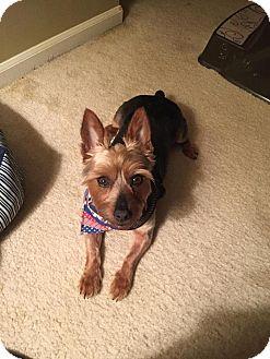 Yorkie, Yorkshire Terrier Dog for adoption in Lorain, Ohio - Cash