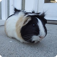 Adopt A Pet :: Tease - Fullerton, CA