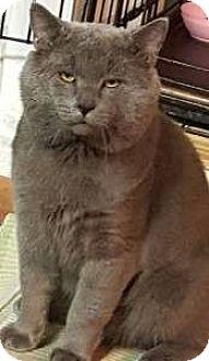 British Shorthair Cat for adoption in brewerton, New York - Smokey