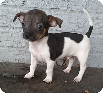 Chihuahua Puppy for adoption in Bridgeton, Missouri - Kingston