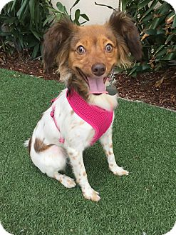 Papillon/Spaniel (Unknown Type) Mix Dog for adoption in Rancho Palos Verdes, California - Mia