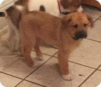 Shepherd (Unknown Type)/Collie Mix Puppy for adoption in Lancaster, Kentucky - Rubble