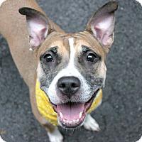 Adopt A Pet :: Cheryl - Ridgefield, CT