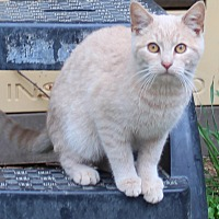 Domestic Shorthair Cat for adoption in Columbia, Tennessee - Charlie