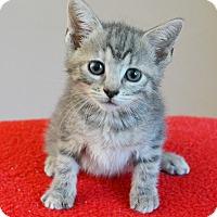 Adopt A Pet :: Ziva - Springfield, IL