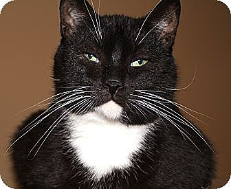 Domestic Shorthair Cat for adoption in Laingsburg, Michigan - DEWEY