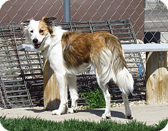 Border Collie Mix Dog for adoption in Meridian, Idaho - Tess