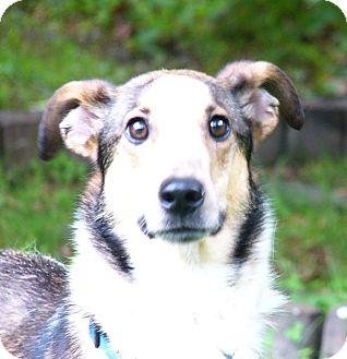 Sheltie, Shetland Sheepdog/Collie Mix Dog for adoption in Mocksville, North Carolina - Collin