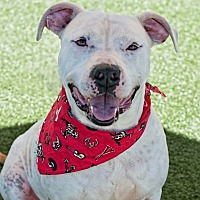 American Staffordshire Terrier Mix Dog for adoption in Salisbury, North Carolina - Bruce