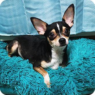 Chihuahua Dog for adoption in Davie, Florida - Tito