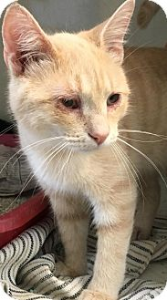 Domestic Shorthair Cat for adoption in Manteo, North Carolina - Izzy   (blind)