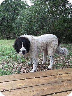 Newfoundland/Great Pyrenees Mix Dog for adoption in Buchanan Dam, Texas - Albert Einstein