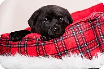 Labrador Retriever/Shepherd (Unknown Type) Mix Puppy for adoption in Houston, Texas - Adidas