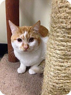 Domestic Shorthair Cat for adoption in Santa Ana, California - Kringle (Cat BFF!)