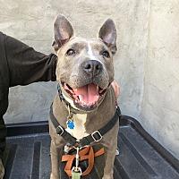 Adopt A Pet :: Bea - Brooklyn, NY