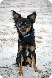 Chihuahua/Papillon Mix Dog for adoption in Cheyenne, Wyoming - Eddie
