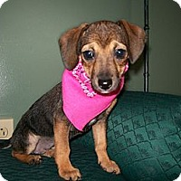 Adopt A Pet :: Weenie - Glastonbury, CT