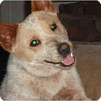 Adopt A Pet :: BJ - Phoenix, AZ