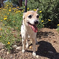 Rat Terrier Dog for adoption in El Cajon, California - Bonnie(Teetee)