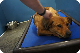 Shepherd (Unknown Type) Mix Dog for adoption in Henderson, North Carolina - Angel