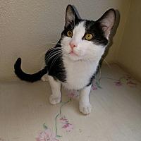 Domestic Mediumhair Kitten for adoption in Monrovia, California - Miles