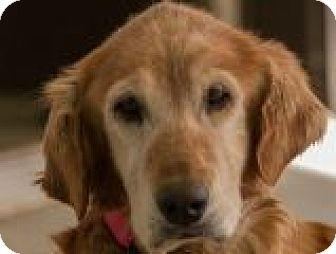 Golden Retriever Dog for adoption in Denver, Colorado - Alice