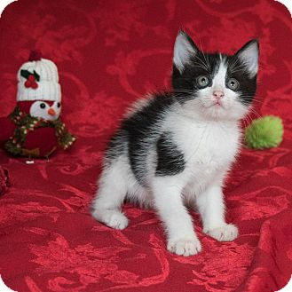 Domestic Shorthair Kitten for adoption in Houston, Texas - Verity