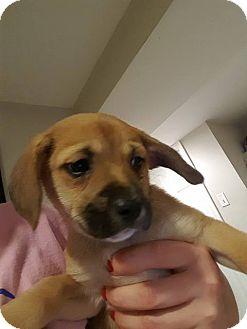 Terrier (Unknown Type, Medium) Mix Puppy for adoption in WESTMINSTER, Maryland - Cranberry
