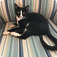 Domestic Shorthair Cat for adoption in Tampa, Florida - Arnold