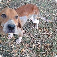 Adopt A Pet :: Gomer - Boston, MA