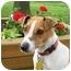 Photo 4 - Jack Russell Terrier Dog for adoption in Omaha, Nebraska - Maggie