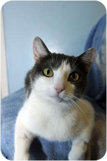 Domestic Shorthair Cat for adoption in New York, New York - Sugar