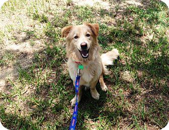 Golden Retriever/Basset Hound Mix Puppy for adoption in Dundee, Florida - Rosie