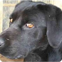 Adopt A Pet :: Boyd - Albany, NY