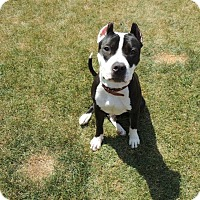 Adopt A Pet :: Frenchie - Vernon Hills, IL