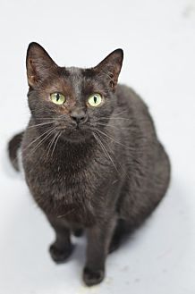 Domestic Shorthair Cat for adoption in Atlanta, Georgia - Sundae 13263