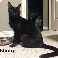 Adopt A Pet :: Ebony - Bentonville, AR
