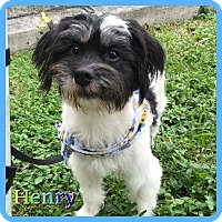 Adopt A Pet :: Henry - Hollywood, FL