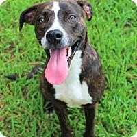 Pit Bull Terrier/Labrador Retriever Mix Dog for adoption in Murphysboro, Illinois - Rhydon