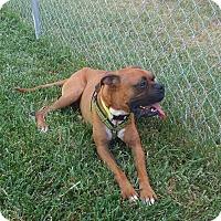 Boxer Dog for adoption in Austin, Texas - Bill Miller