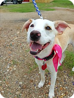 Labrador Retriever Mix Dog for adoption in Houston, Texas - Sasha