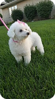 Miniature Poodle Dog for adoption in Orland Park, Illinois - Sugar