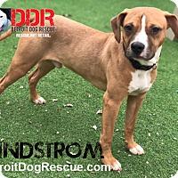 Adopt A Pet :: Lindstrom - St. Clair Shores, MI