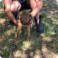 Adopt A Pet :: Jooney - Patterson, NY