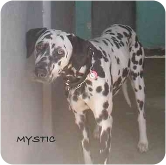 Dalmatian Dog for adoption in Mandeville Canyon, California - Mystic