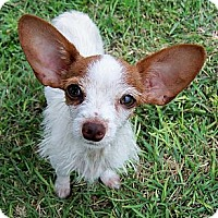 Adopt A Pet :: Maddison - San Angelo, TX