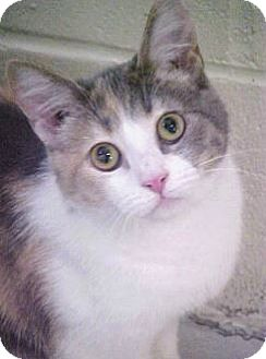 American Shorthair Cat for adoption in Burgaw, North Carolina - Sunshine