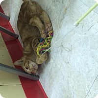 Adopt A Pet :: TomCat Cruise - Richboro, PA