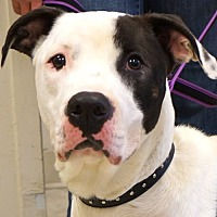 American Pit Bull Terrier Mix Dog for adoption in Sprakers, New York - April