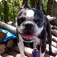 Boston Terrier Dog for adoption in various cities, Florida - Quincy 'Jackpot' Ironton KY